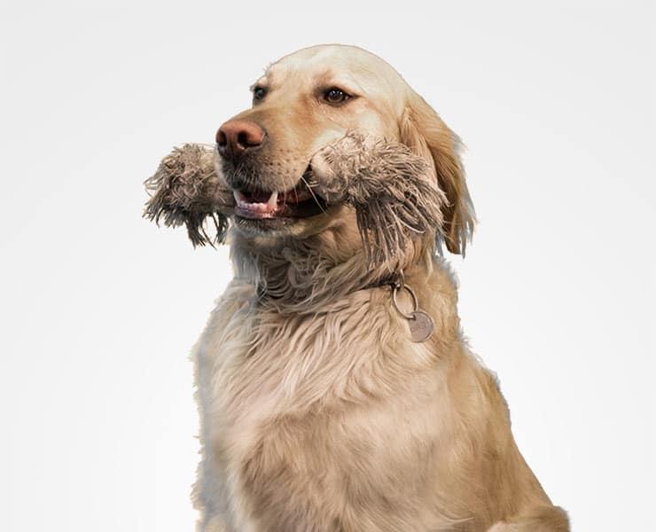 Company dog Elliot. He is a Golden Retriever.